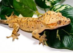 Orange Crested Dalmation Gecko (Correlophus ciliatus) South Island of New Caledonia Cute Reptiles, Reptiles And Amphibians, Chameleon Lizard, Reptile Room, Crested Gecko, Paludarium, Baby Yellow, Frog And Toad, Animals Of The World