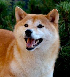 PAKOLLINEN SÖPÖ ELÄINKUVA kertoo harrastuksestani Shiba rotuisten koirien parissa. Olen rodun kasvattaja ja yhdistysaktiivi. Minulla on ollut myös useita luottamustoimia Suomen Shiba ry:n hallituksessa. Shiba Inu, Husky, Dogs, Happiness, Animals, Animales, Bonheur, Animaux, Pet Dogs