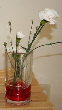 Plant Biology Science Project carnations in red water
