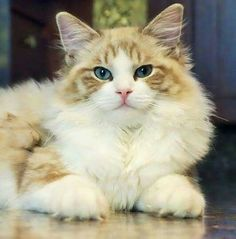 Beautiful cat Cat Wallpaper, Kittens Cutest, Beautiful Creatures, Cute Animals, Kitty Kitty, Eyes, Photography, Animals, Animal Drawings