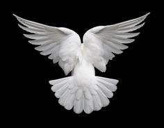 About Our Doves Wedding Doves and Funeral Doves by True Dove Ways