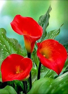 red calla lilies                                                                                                                                                                                 More