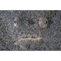 A stargazer fish camouflages itself in the sand Canvas Art - Ethan DanielsStocktrek Images (34 x 23)