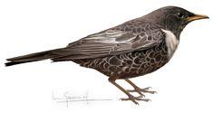 mirlo capiblanco Blackbird, Birds, Illustrations, Drawings