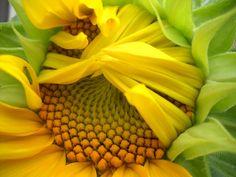 https://flic.kr/p/8egcvk | Summer! | First Sunflower to bloom!!
