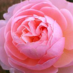#rose #flower #floweroftheday #instagramhub #iphoneonly #kokohana #nofilter #noeffect #all_shots #insta_pick_blossoms #insta_pick - @kanahide   Instagram