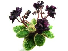 African violet - Dark Night of the Soul -   NEW Listing  Semidouble, black ruffled pansy flower with dark coral-red reverse. Variegated, medium green and white, ovate, serrated foliage. Semiminiature.  AVSA Reg. #10301   (McDonald)  https://www.facebook.com/llgreenhouses