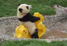 Panda having fun.