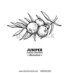 Find Juniper Vector Drawing Isolated Vintage Illustration stock images in HD and millions of other royalty-free stock photos, illustrations and vectors in the Shutterstock collection. Thousands of new, high-quality pictures added every day. Gin Ingredients, Brow Studio, Organic Lines, Organic Essential Oils, Compass Tattoo, Line Drawing, Zine, Gin Festival, Tree Drawings