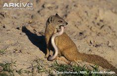 Yellow mongoose eating snake
