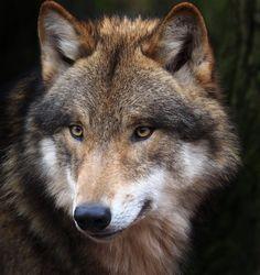 beautiful-wildlife:  Wolf PortraitbyHerbert Bücher