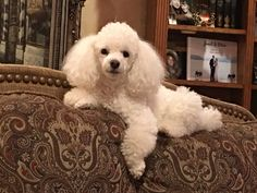 """Outstanding """"Poodle pups"""" information is available on our web pages. Read more and you will not be sorry you did. Black Lab Puppies, Cute Puppies, Cute Dogs, Dogs And Puppies, Corgi Puppies, Dog Grooming Business, Little Dogs, Beautiful Dogs, I Love Dogs"""