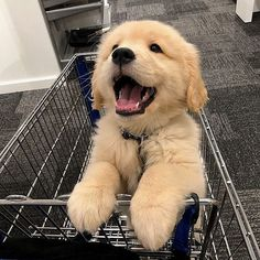 Astonishing Everything You Ever Wanted to Know about Golden Retrievers Ideas. Glorious Everything You Ever Wanted to Know about Golden Retrievers Ideas. Super Cute Puppies, Cute Baby Dogs, Cute Little Puppies, Cute Dogs And Puppies, Cute Little Animals, Cute Funny Animals, Funny Dogs, Doggies, Corgi Puppies