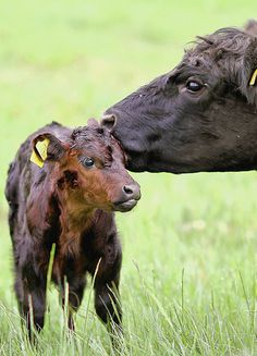 Mama and Baby./ Cow And Calf!!!