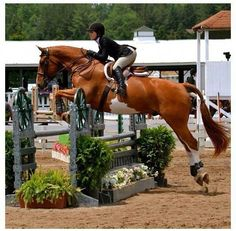 Equitation and stunning sabino chestnut horse jumping Pretty Horses, Horse Love, Beautiful Horses, Hunter Jumper, Horse Photos, Horse Pictures, Dressage, Cheval Pie, Chestnut Horse