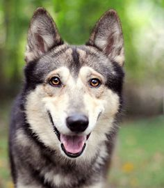 I'll take 5 Gerberian Shepsky's please | Somebody Crossed A German Shepherd With A Husky And It's The Most Beautiful Thing Ever