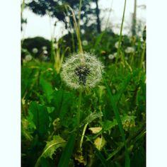 #Fotografía #DientedeLeón #Green #Verde #Natural #Naturaleza #SamsungJ7 #UNMSM #Lima #Perú #Beautiful #Flores #Flowers