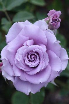 "Rose ""Sweet Moon"" - Lilac - Hybrid Tea Rose - Bred by Kikuo Teranishi (Japan, 2001)                                                                                                                                                     More"