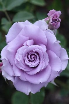 "Rose ""Sweet Moon"" - Lilac - Hybrid Tea Rose - Bred by Kikuo Teranishi (Japan, 2001)"