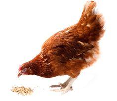 #kippen en #pluimvee #hortadendauw #kuurne #kortrijk