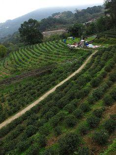 Maokong Tea Plantation - Taipei City, Taiwan