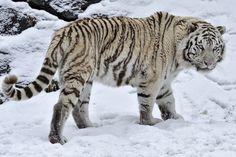 tiger wallpapers for mac desktop