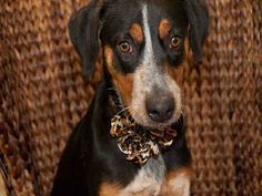 Monty is an eight month old #bluetick hound mix #puppy.  He is looking for his…