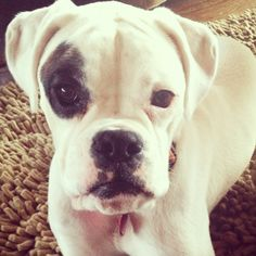 white Boxer dog