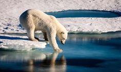 Polar bear tries its weight on thin sea ice