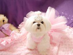 Maltese Princess