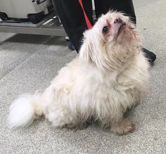 Update- Now in the care of the Dog Warden. Share to get me home- found Shafto Way, Newton Aycliffe, male entire dog no collar, no chip. Very sweet and friendly. Please phone (01325) 321871 if you have any information.