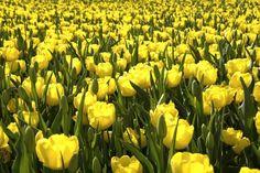 Yellow tulip in a flower festival, Taean, South Korea