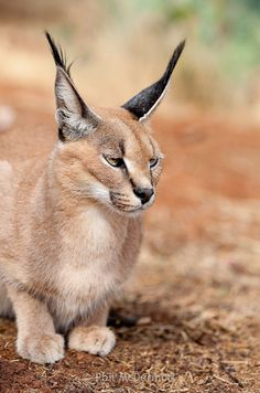 Caracal (Felis caracal), this is a captive photographed in a rescue centre near Windhoek