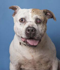 After living with an abusive owner for many years, Murdock, the pit bull that captured the hearts of thousands, is now living quite a different life.