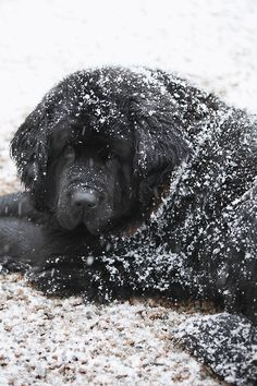 Snow-covered Newfoundland dog. Photograph by Annika Christensen.   ...........click here to find out more     http://googydog.com