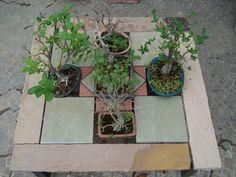 arenaria neuter & ruber  tavolo 2- PULCHRIA