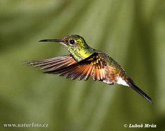 hummingbirds pictures   Male Vegan Feminist: Hummingbird