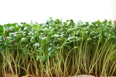 Growing Microgreens - Step-by-Step Guide for Great Results