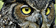 The Great Horned Owl is not only wise, but a strong and stealthy bird ...