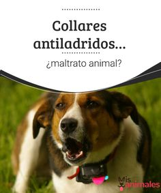 Collares antiladridos... ¿maltrato animal?  ¿Los collares antiladridos favorecen el maltrato animal? En este artículo puedes obtener algunas respuestas sobre este polémico accesorio.