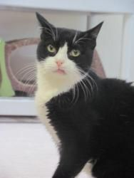 Angie is an adoptable Domestic Short Hair-Black And White Cat in Beacon, NY. Hi, I am Angie. I'm a pretty lady who has a couple of medical problems. I'm on some medicine now, and am doing alright. I l...