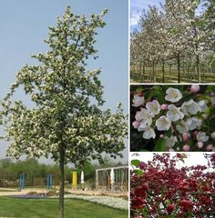 Malus Red Sentinel. Crab Apple. Lovely spring blossom and autumn colour.