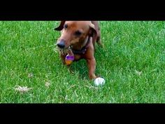 Wiener dog aerates lawn