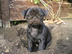 Pugs make the worst type of pets. Raza Pug, Amor Pug, Funny Animals, Cute Animals, Animals Dog, Pugs And Kisses, Baby Pugs, Pug Pictures, Cute Pugs