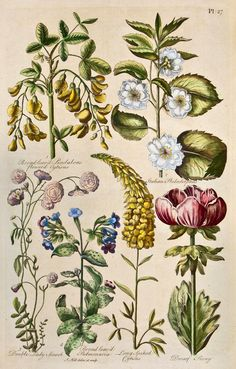 Citisus, Pulmonaria and Paeonia