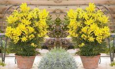 Pompom yellow flowers are produced on hardy evergreen tree against backdrop of feathery foliage the blooms provide valuable food for insects Spring Colors, Spring Flowers, Mimosa Plant, Conservatory Plants, Pot Image, Evergreen Trees, Growing Plants, Acacia, Yellow Flowers