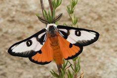 Hemileuca electra mojavensis (Mojave Electra Silkmoth)