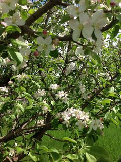 Apple blossoms mean lots of pies and crisp this Fall!
