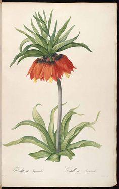 37290 Fritillaria imperialis L. / Redouté, P.J., Les Liliacées, vol. 3: t. 131 (1805-1816) [P.J. Redouté]