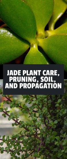 Jade Plant: Care Pruning Soil and Propagation - House Plants - ideas of House Plants - Jade plants are beautiful and easy to care for making them a great houseplant for beginner and expert gardeners alike. Learn exactly how to grow them here.